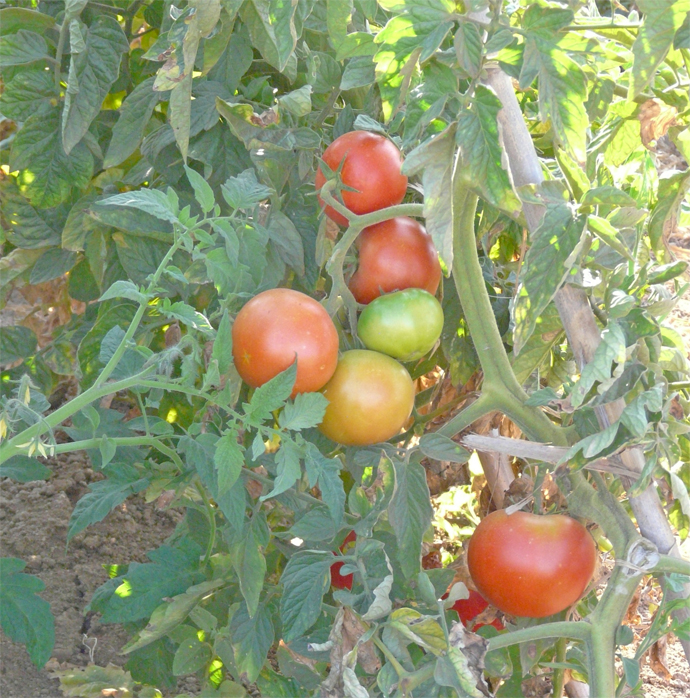 Tomates ecológicos